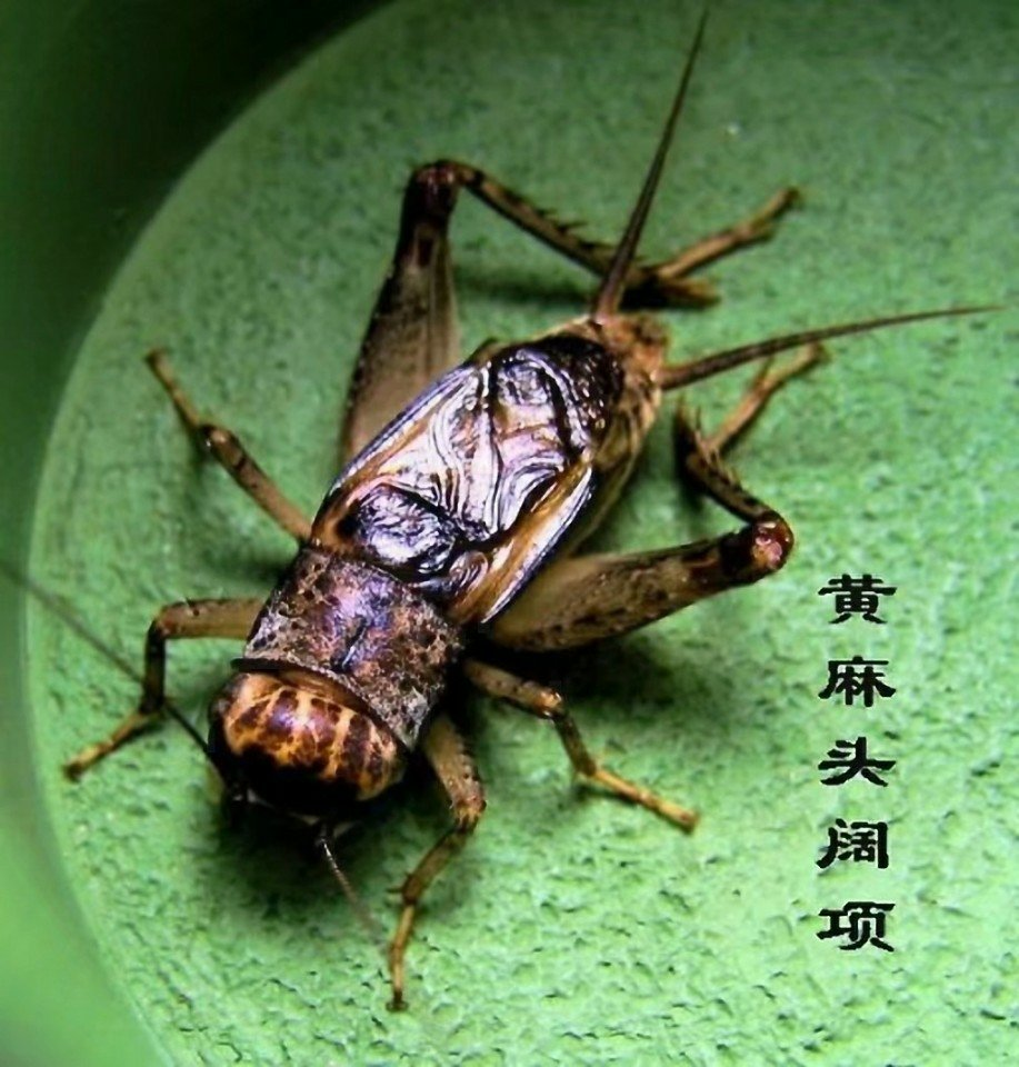 蟋蟀论坛虫王图片_蟋蟀虫王图片 _排行榜大全